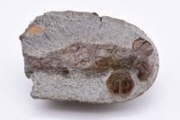 アワジスナモグリ