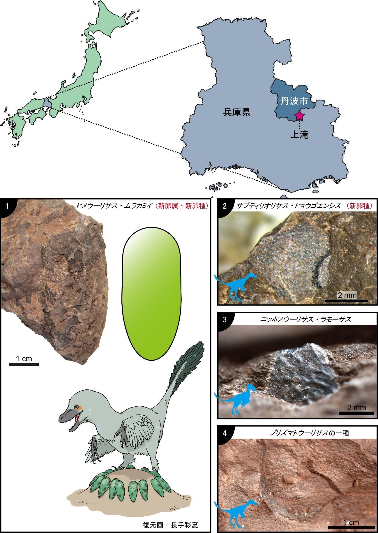 兵庫県丹波市上滝において、新しい層準から4種類の卵殻化石が確認されました。