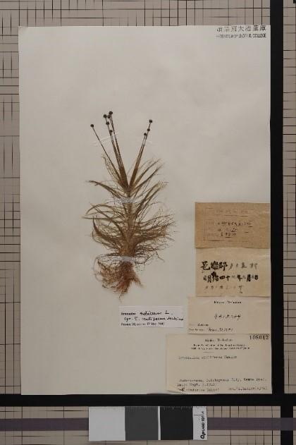 タカノホシクサ標本