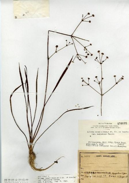 ホソバ(シジミ)ヘラオモダカ標本